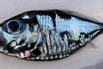 日本渔民捕获谜之深海鱼可怕又美丽越看越着迷